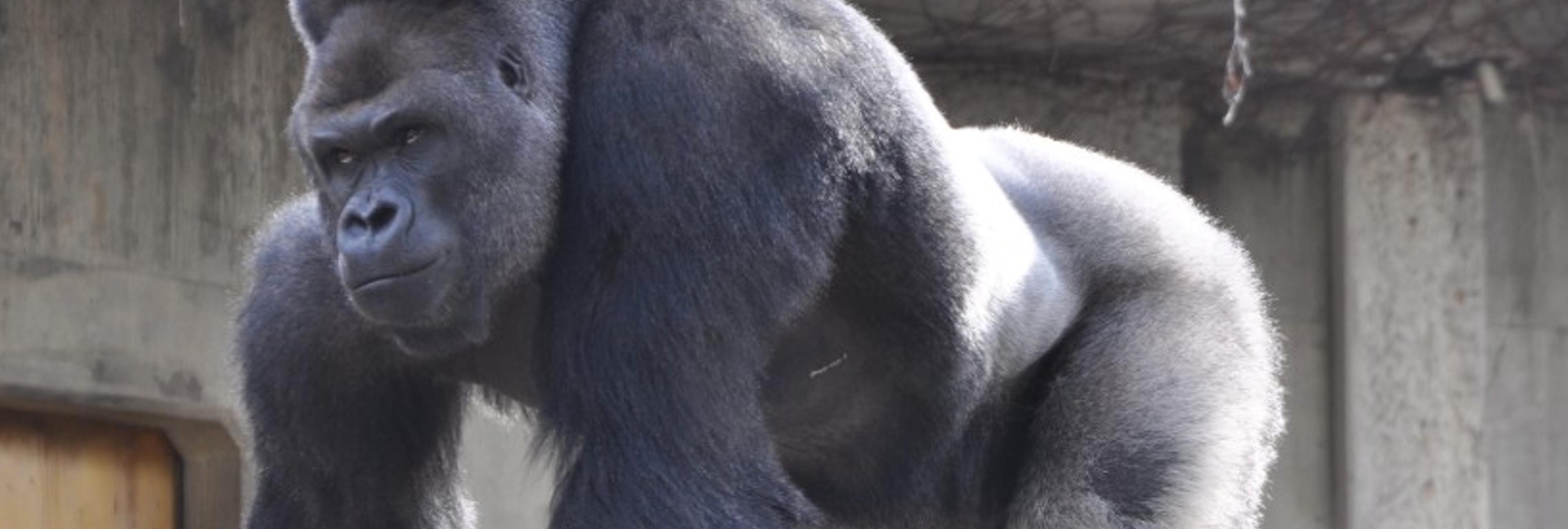 El gorila por el que suspiran las japonesas