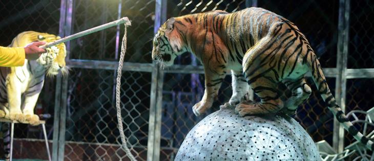 Cada vez más países prohíben los animales en los circos