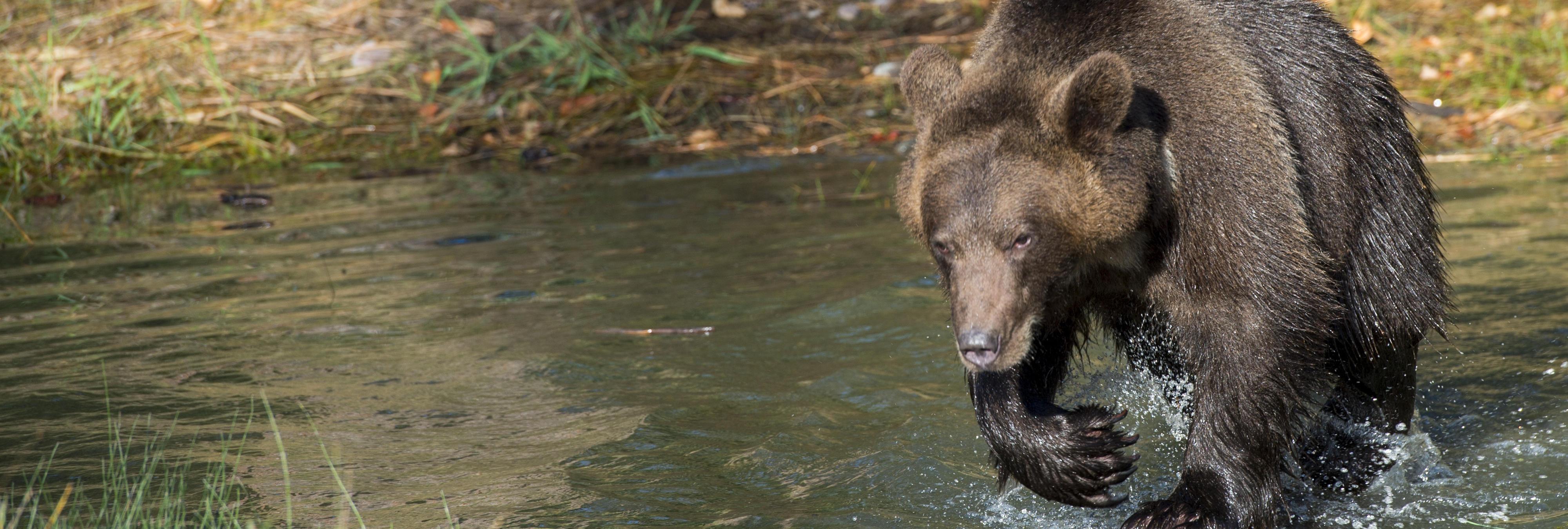 Un oso salvaje se cuela en un centro comercial de Rusia
