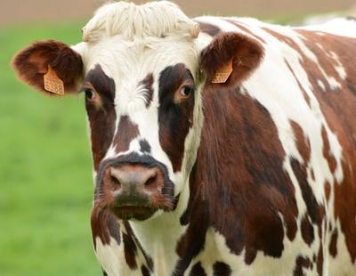 China abrirá una enorme granja de animales clonados para el consumo