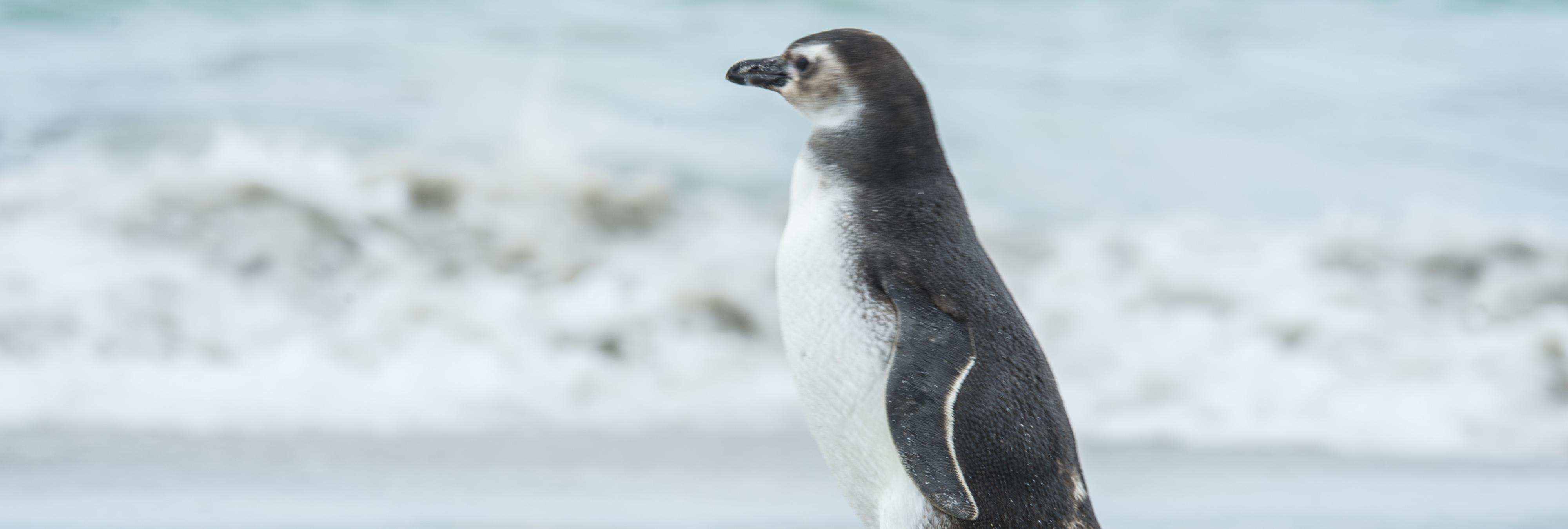 Dindim, el pingüino que viaja cada año 6.000 km para reencontrarse con su salvador