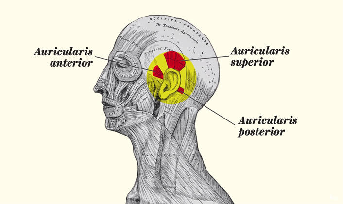 Los músculos que nos permiten mover las orejas