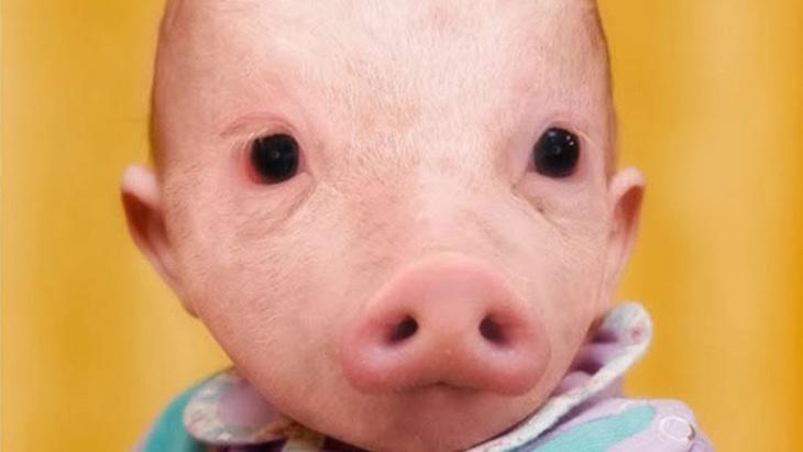 ¿Cuánto se parece el AND de humanos y cerdos?