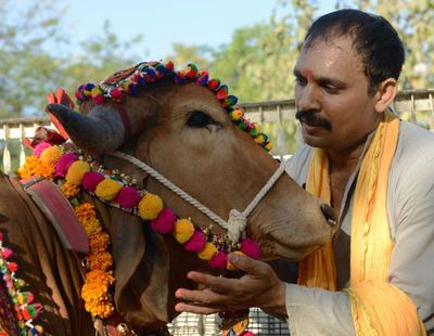 La India lucha contra el calentamiento global evitando que sus vacas (sagradas) se tiren pedos