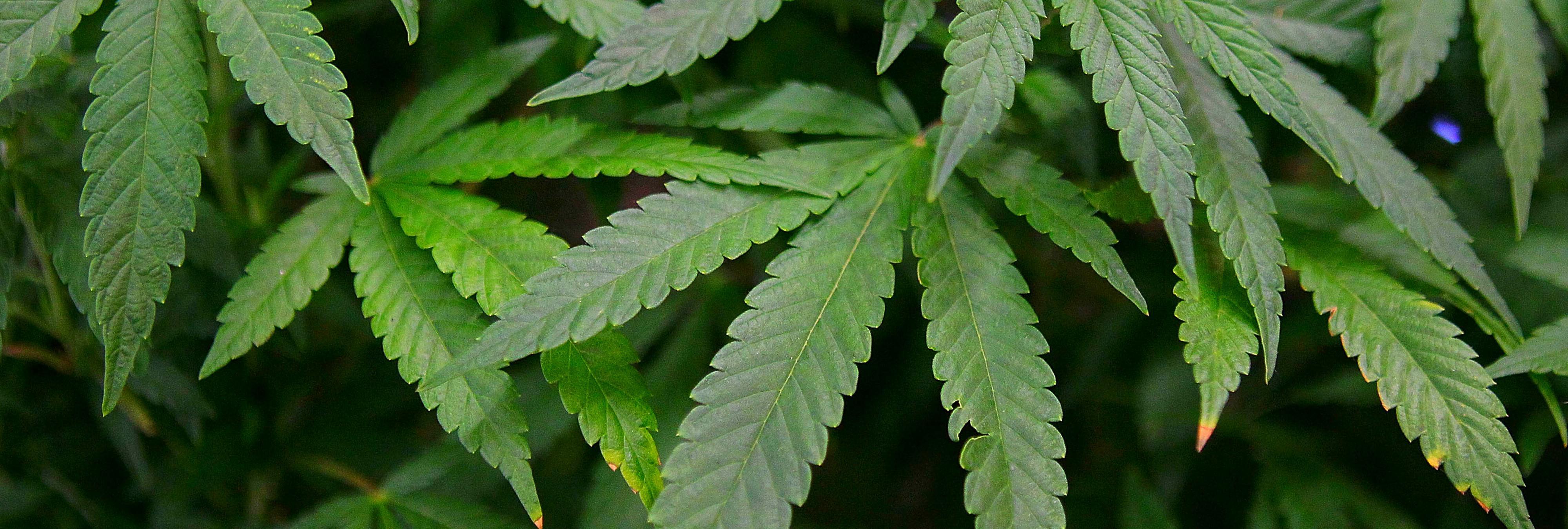 Alemania legalizará la marihuana (terapéutica) en 2017. ¿Y España?