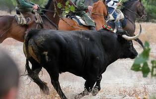 Aprobado el primer paso para acabar con el Toro de la Vega: el animal no podrá morir