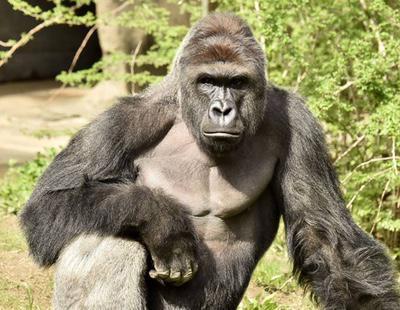 Harambe, el gorila que fue asesinado por la irresponsabilidad de unos padres