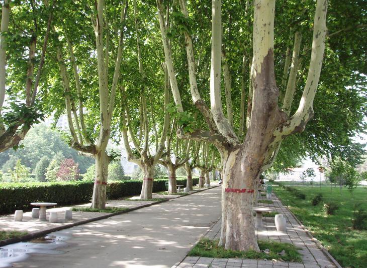 El árbol plátano de sombra es el principal causante de las alergias estos días (Fanghong/Wikipedia)