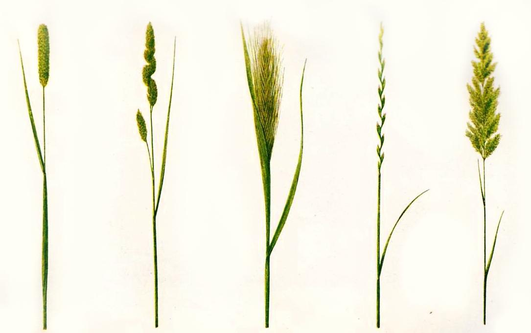 Las gramíneas provocan la mayoría de las alergias en los meses de junio y julio