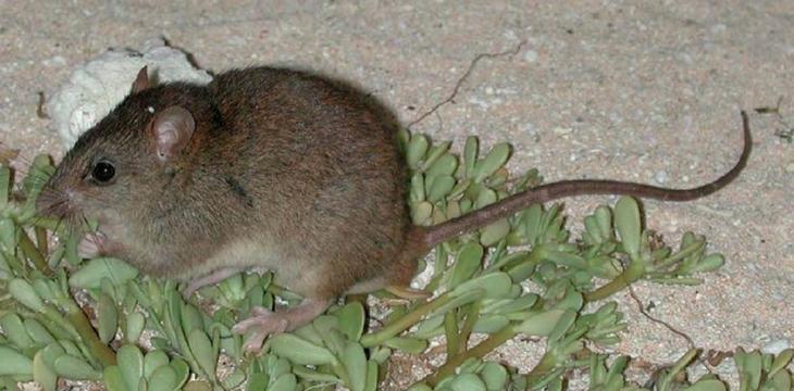 El melomys rubicola, el primer mamífero extinto del mundo