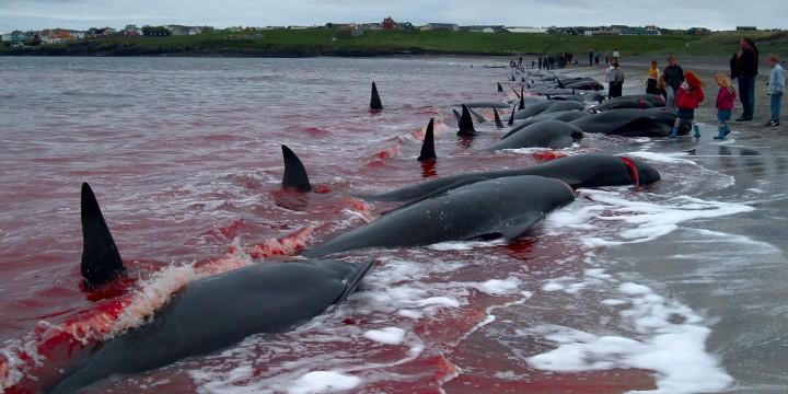 La OMS recomienda no consumir la carne ni grasa de delfín ni ballena, o comerla como máximo una vez al mes