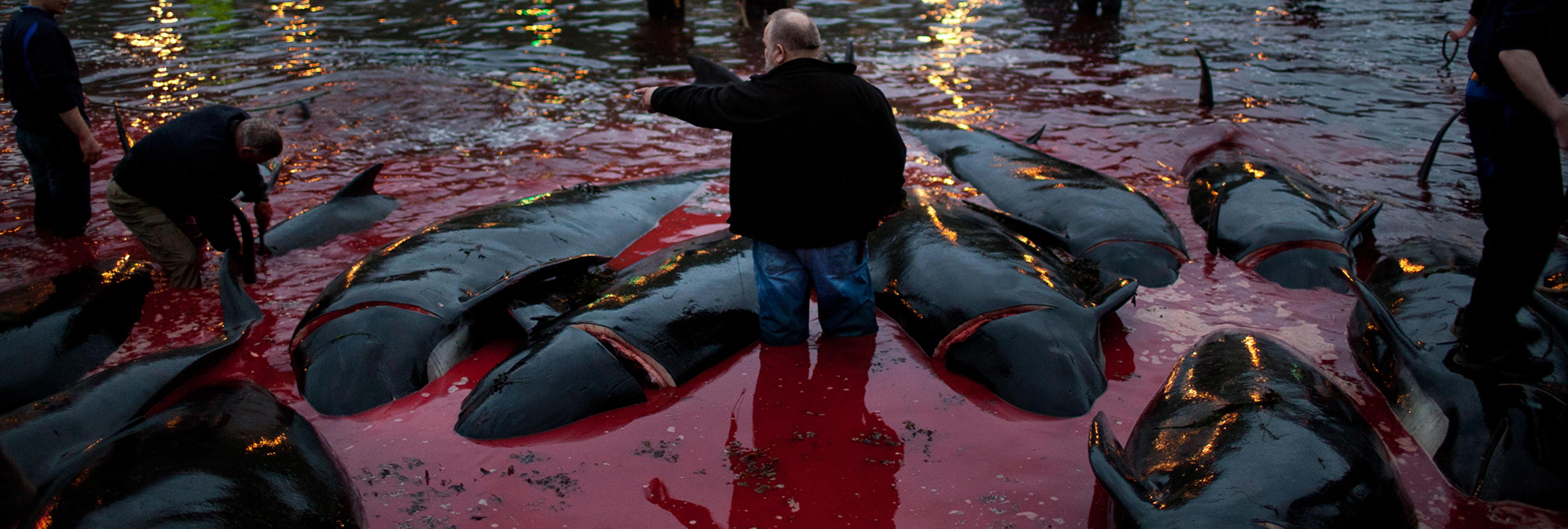 Grindadráp, la matanza de ballenas que tiñe de rojo las aguas del Atlántico