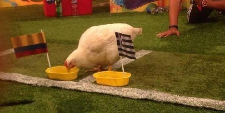 Paula es la gallina más inteligente de Colombia