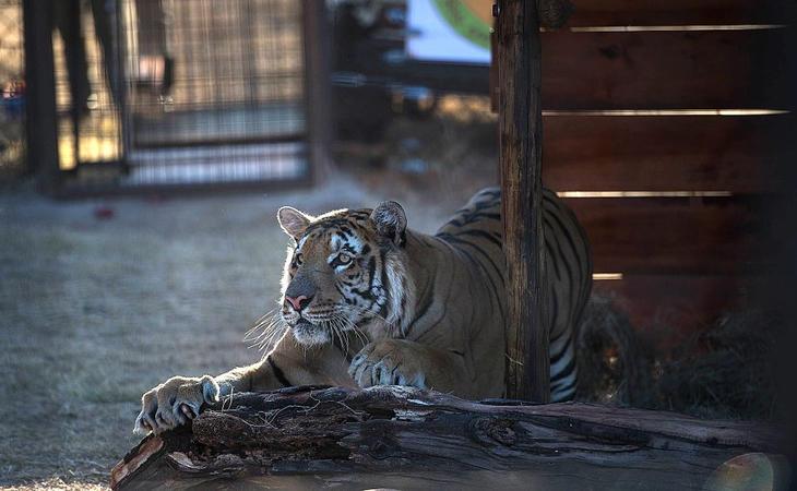 El tigre del zoo de Gaza, en su nuevo hogar