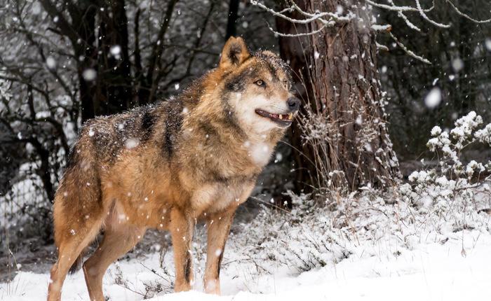 Noruega podría perder tres de los seis grupos de lobos que quedan en el país