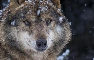 Noruega da luz verde para matar a dos tercios de su población de lobos