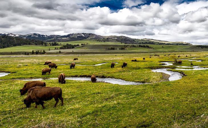 Los búfalos se drogan para tranquilizarse