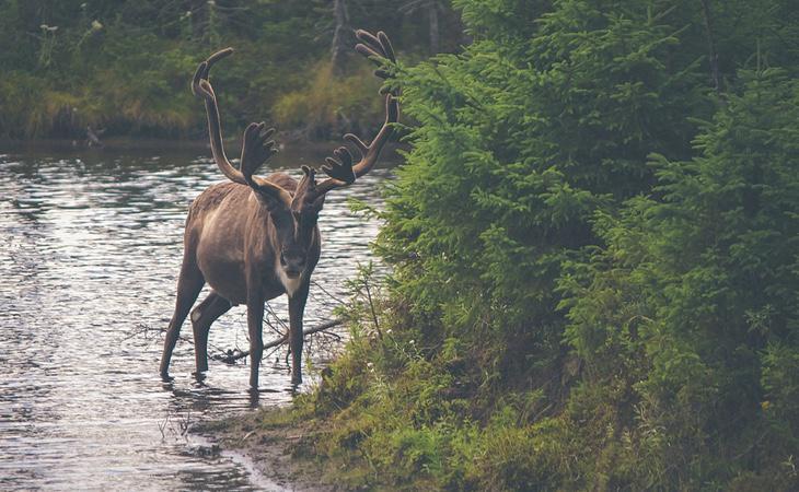 Los renos 'vuelan' con la Amanita muscaria