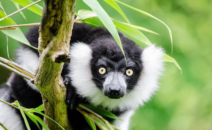 Los lemures se frotan con toxinas de milpiés