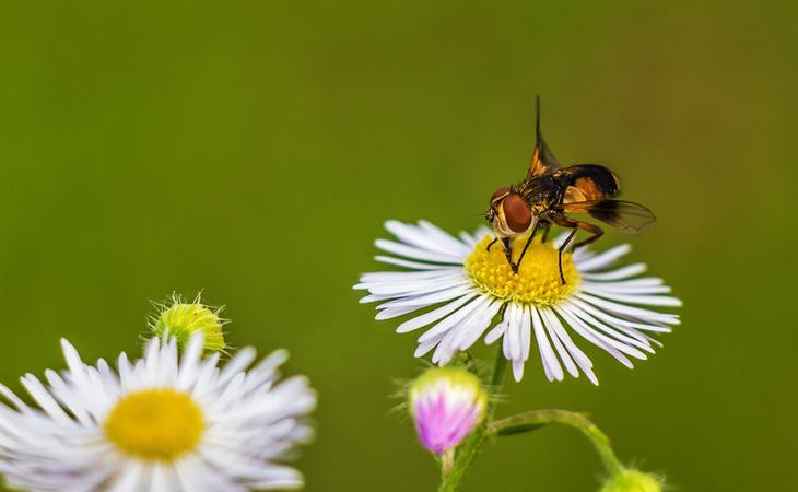 Cuando se drogan, las moscas se convierten en un blanco fácil