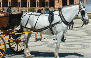 PACMA pide prohibir los coches de caballos en Sevilla