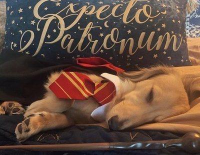 Conoce al perro más fan de 'Harry Potter': conoce y reacciona a todos sus hechizos