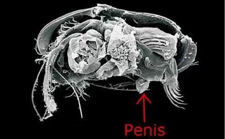 El pequeño fosil y su aparato reproductor