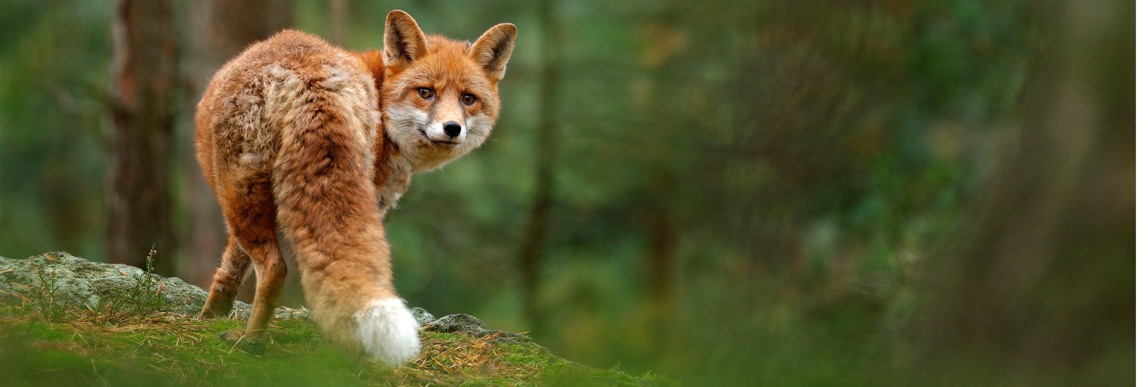 Archivan la causa contra el cazador que mató a golpes a un zorro al no ser un animal doméstico
