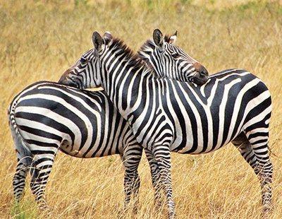 Descubren finalmente la verdadera función de las rayas de las cebras