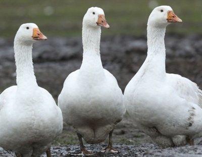 Las chaquetas de plumas de ganso cuestan a las aves cuatro años de dolor y torturas