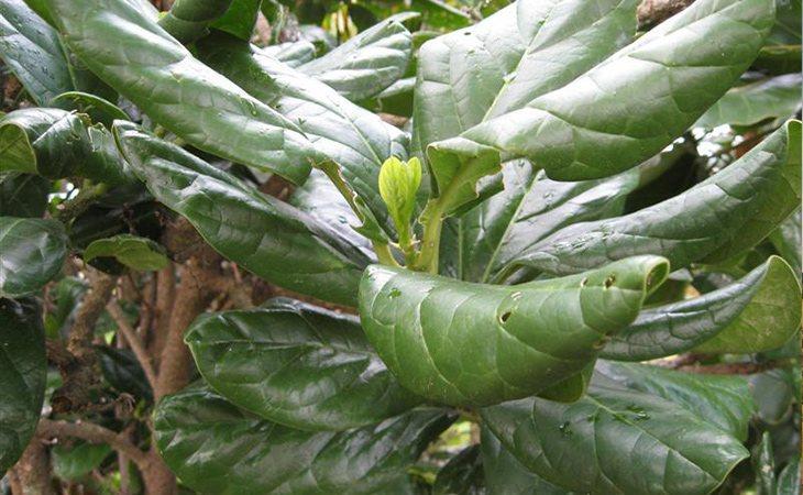 La Pennantia Baylisiana está en el Libro Guiness de los Récords como la planta más rar del mundo