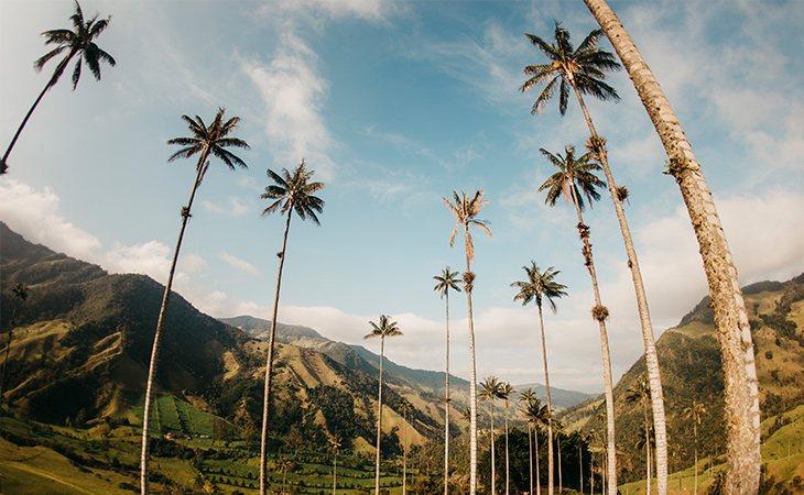 La corteza de esta palmera está recubierta de cera