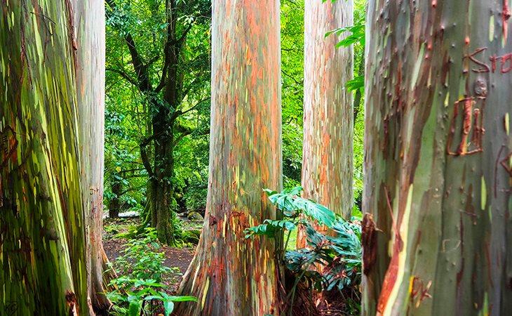 La corteza del eucalipto arcoíris se cae y crea esos colores tan variados