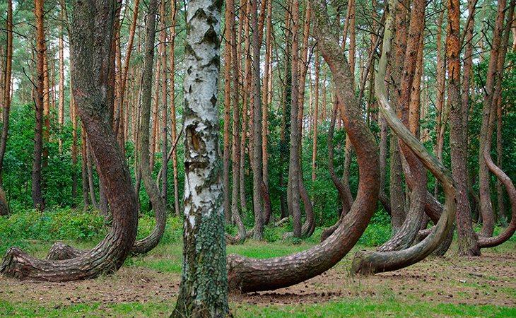 Se desconoce por qué este bosque de Polonia tiene estas especies curvas