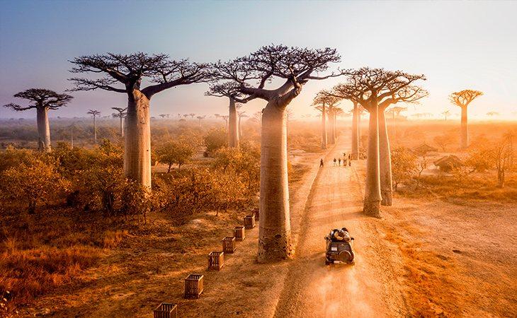 El baobab también es conocido como árbol botella por la forma de su tronco