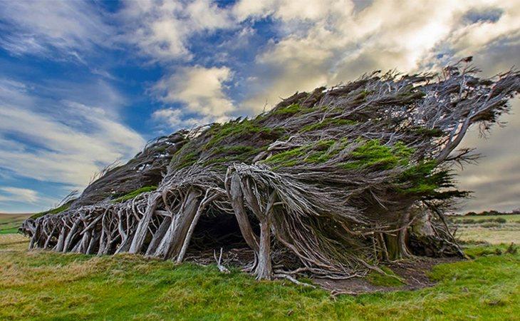 Los árboles de Punta Slope crecen de esta forma por los fuertes vientos del antártico