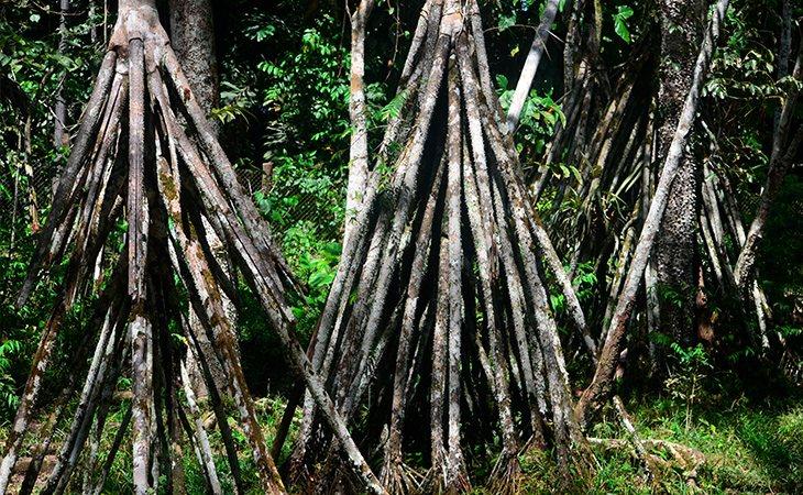 La palmera que camina se mueve hasta un metro al año para buscar la luz del sol