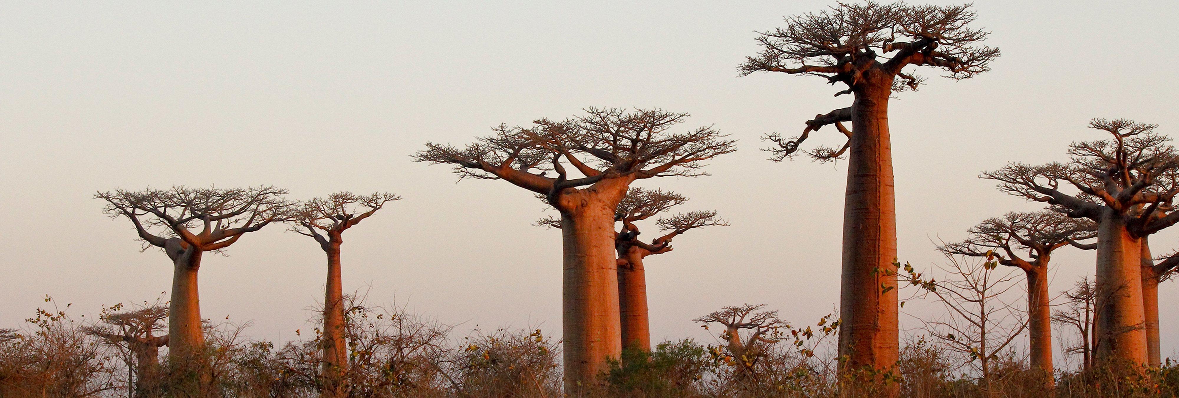 Palmeras que andan, troncos fosforescentes... Así son los 11 árboles más raros del mundo