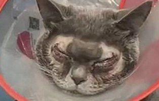 """Una mujer somete a su gato a cirugía plástica porque es """"demasiado feo"""""""