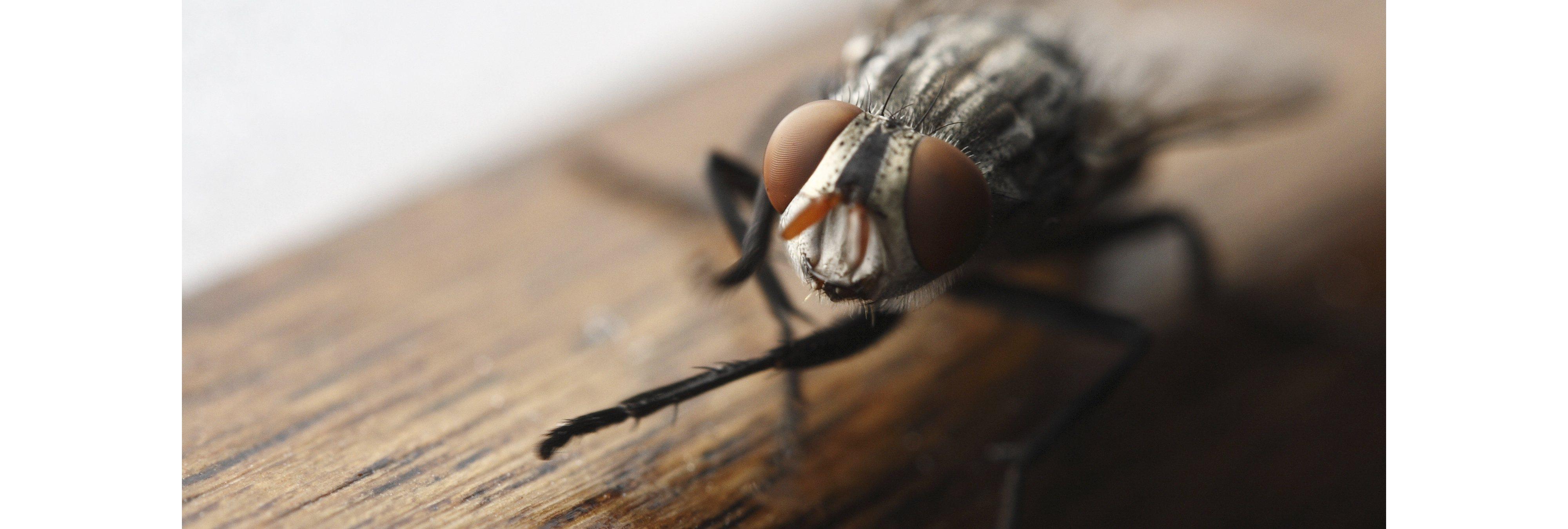 ¿Que sucede cuando una mosca se posa en tu comida? Quizá sea peor de lo que imaginas