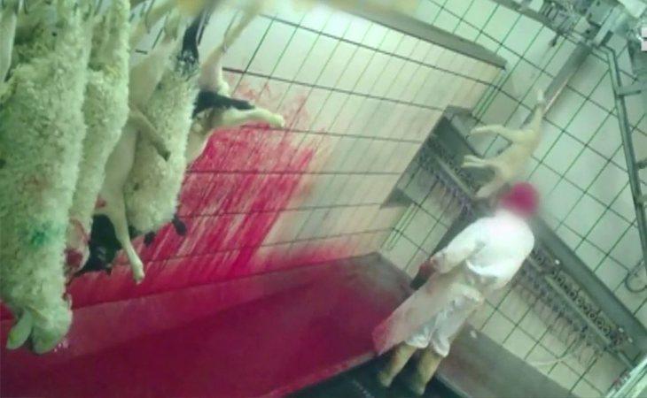 El maltraro animal sufrido en los mataderos, en el punto de mira