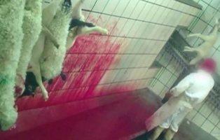 Pateados y degollados sin aturdir: el maltrato animal extremo en un matadero de Ávila