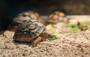El Gobierno de España prohíbe los cerdos vietnamitas y las tortugas como mascota