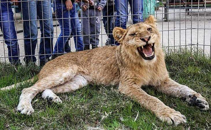 Falestina, la leona a la que le han amputado las garras en un zoo de Palestina