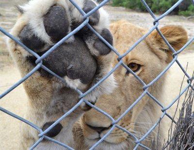 Un zoo amputa las garras a una leona para convertirla en un juguete para los visitantes