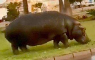 Un hipopótamo se escapa de un circo de Roquetas de Mar y desata el pánico por las calles