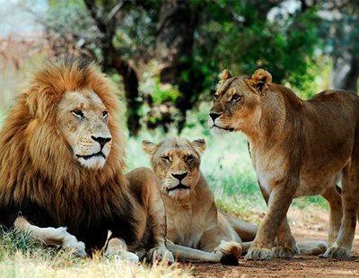Un cazador furtivo, aplastado por un elefante y devorado por una manada de leones