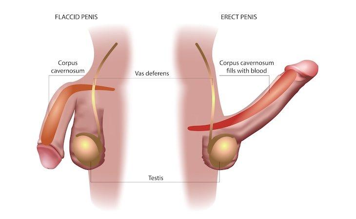 El priapismo prolonga la erección del pene durante horas