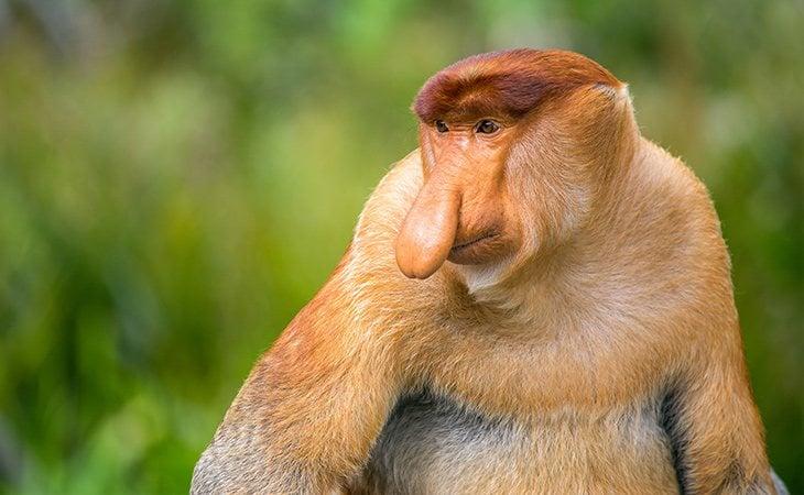 La gran nariz de los monos de probóscide es atractiva para las hembras