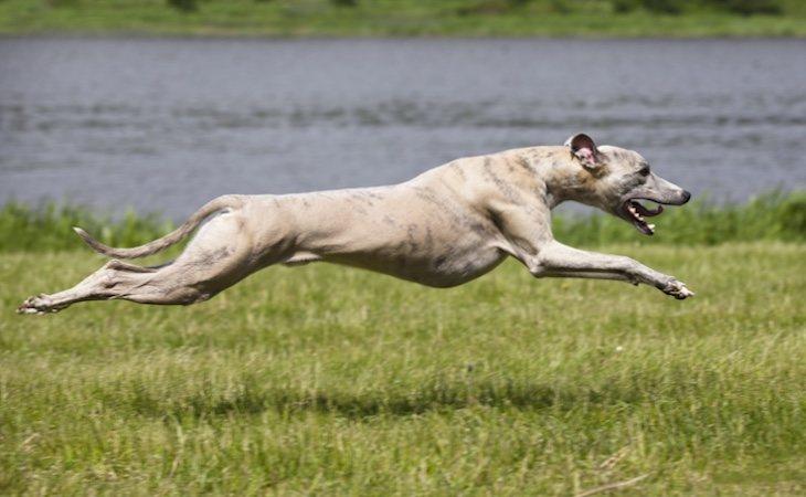 Los galgos son una raza de perro utilizada para cazar liebres